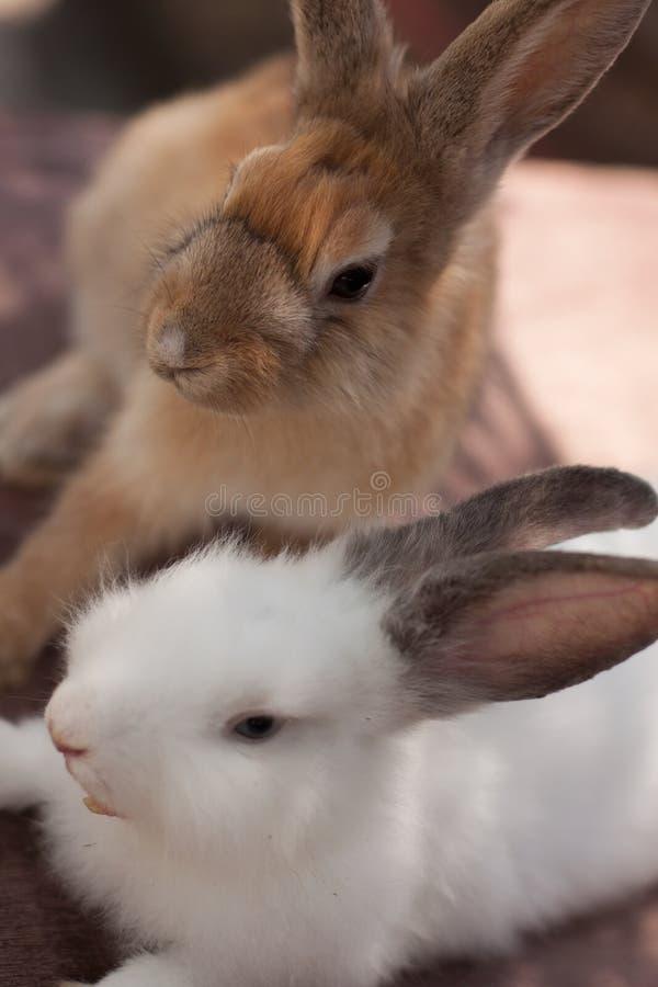 Coniglietti dei fratelli fotografia stock