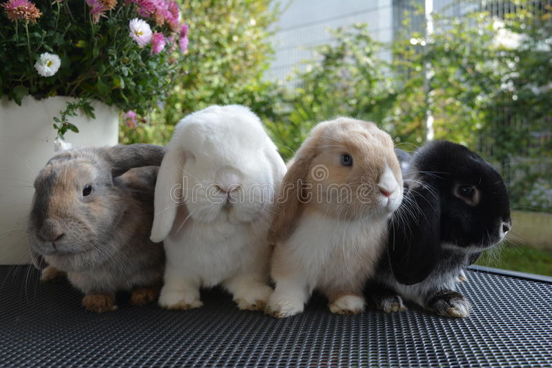 Coniglietti di Twarf fotografie stock libere da diritti