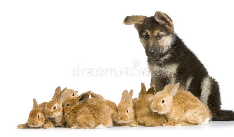 Coniglietti e pastore tedesco fotografie stock