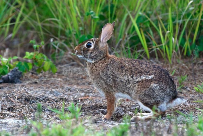 Coniglietto fotografia stock libera da diritti