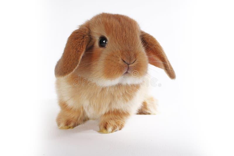 Coniglietto arancio Svegli eccellenti potano il coniglio nano su fondo bianco isolato fotografia stock libera da diritti