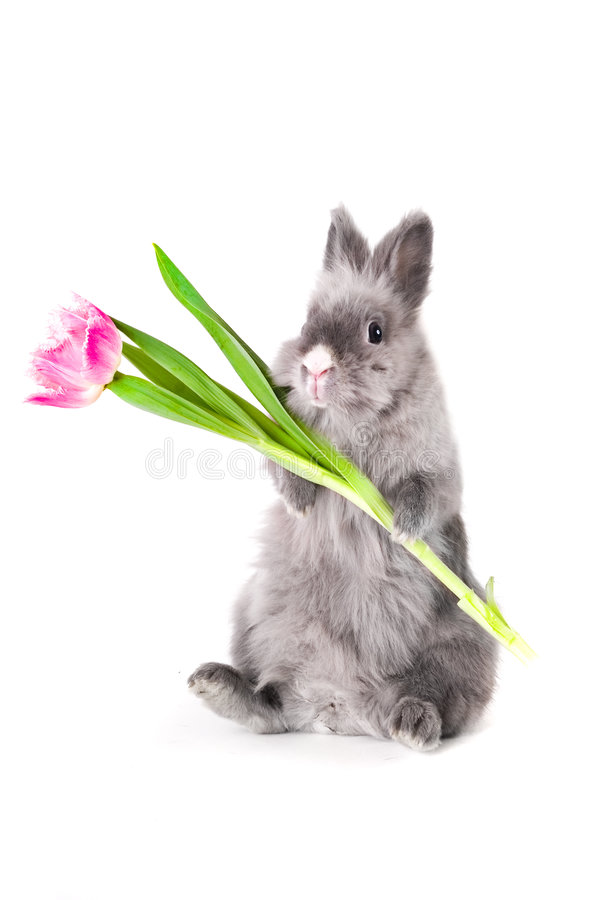 Coniglietto che tiene un tulipano fotografie stock libere da diritti