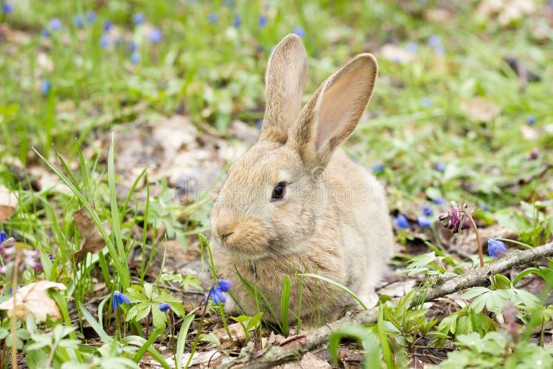 Coniglietto di pasqua su un prato di fioritura Lepre in uno schiarimento dei fiori blu fotografie stock