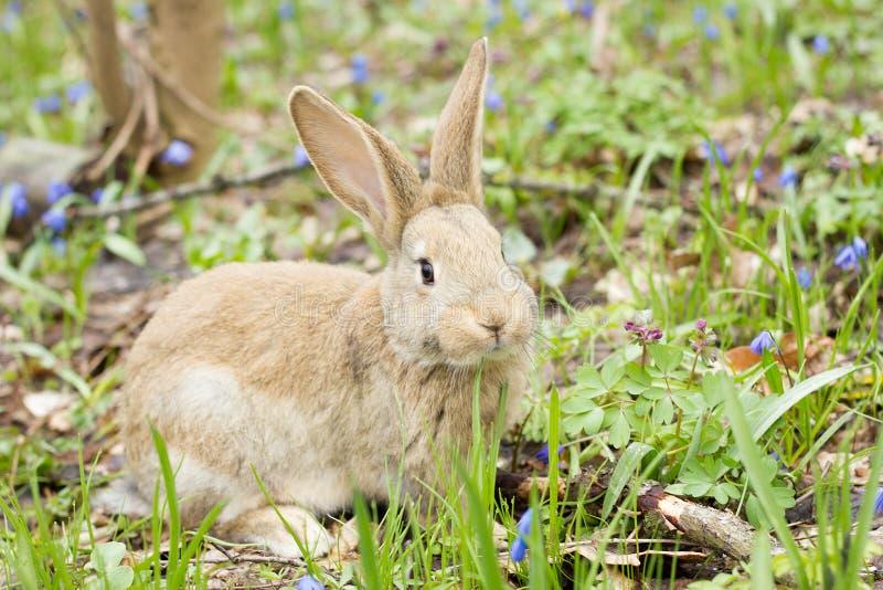 Coniglietto di pasqua su un prato di fioritura Lepre in uno schiarimento dei fiori blu immagine stock