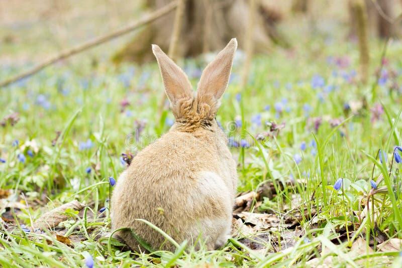 Coniglietto di pasqua su un prato di fioritura Lepre in uno schiarimento dei fiori blu fotografia stock libera da diritti