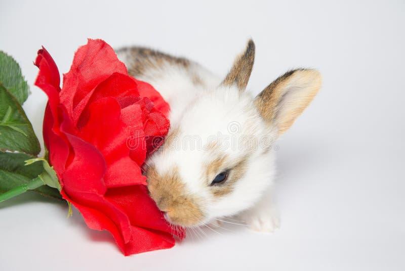 Coniglietto dolce del bambino che mangia rosa rossa immagine stock