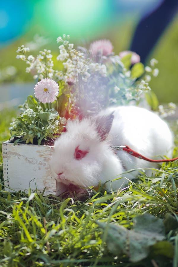 Coniglietto e fiori variopinti di pasqua sull'erba al tramonto Festa di Pasqua immagine stock libera da diritti