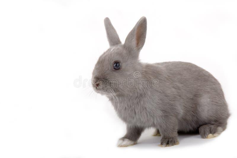 Coniglietto grigio, isolato immagini stock