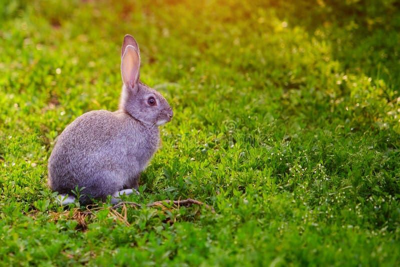 Coniglietto grigio sveglio che si siede nell'erba immagini stock