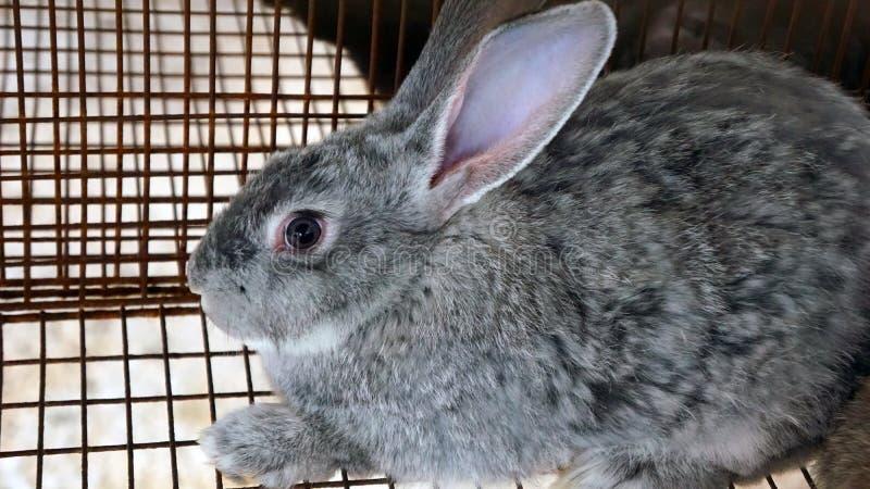 Coniglietto grigio in una gabbia immagini stock