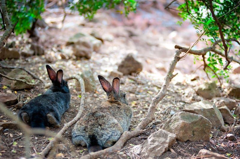 Coniglietto lanuginoso due che si riposa riposo nella tonalità di un albero immagine stock
