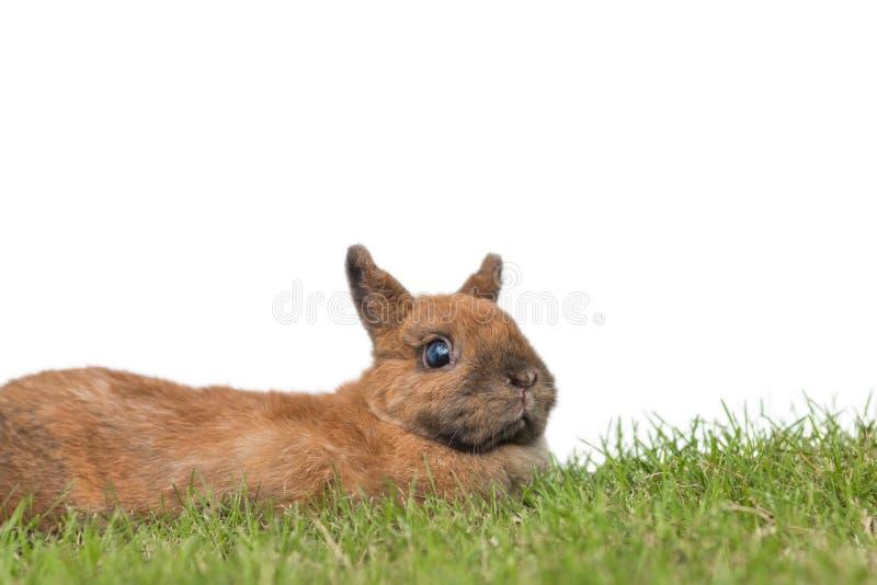 Coniglietto nano olandese sveglio su erba verde con backgroun bianco fotografia stock libera da diritti