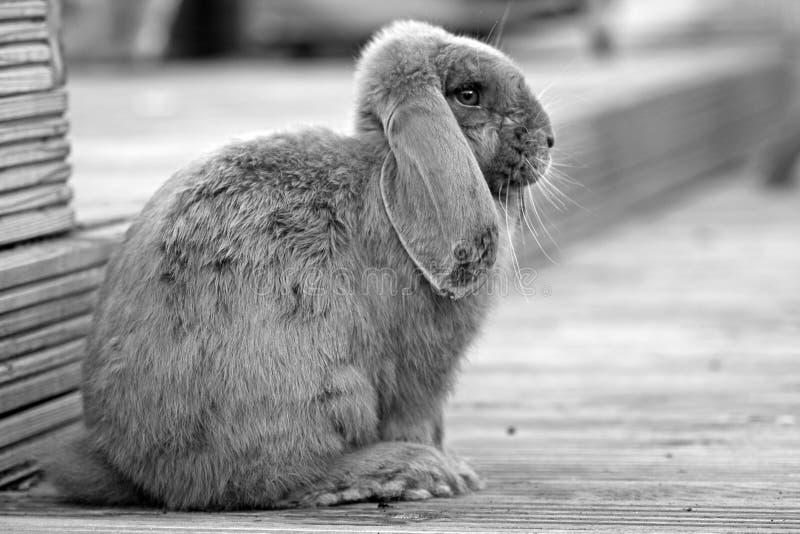 Coniglio immagine stock libera da diritti