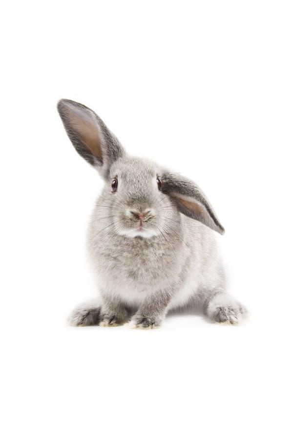 Coniglio immagini stock