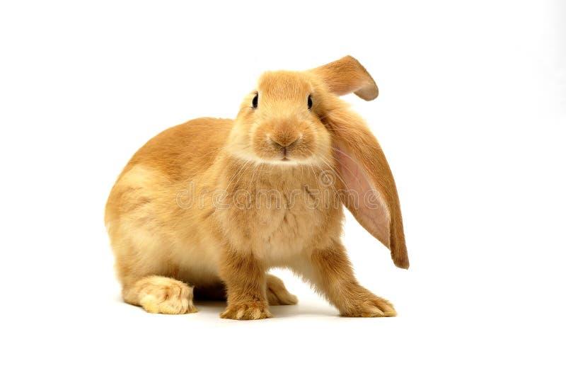 Coniglio arancione fotografia stock