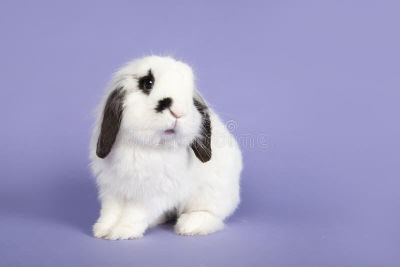 Coniglio attento su un fondo porpora immagine stock