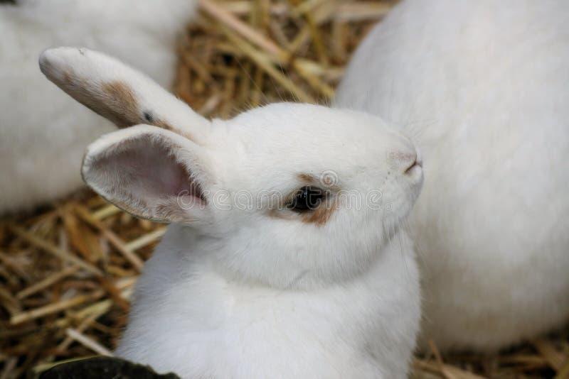 Coniglio bianco immagini stock