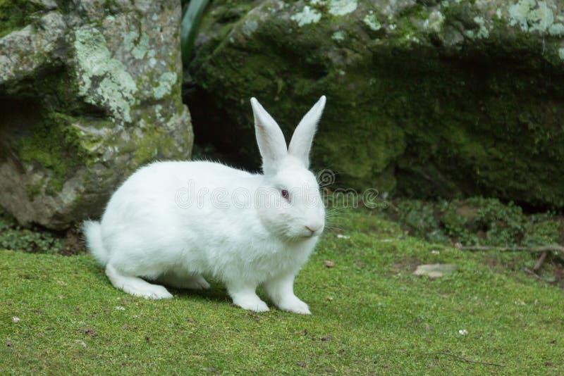 Download Coniglio bianco fotografia stock. Immagine di coniglietto - 55351162