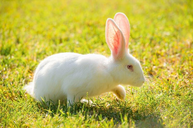 Coniglio bianco che cammina sull'erba un giorno soleggiato immagine stock