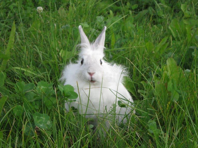 Coniglio bianco che si siede nell'erba fotografie stock libere da diritti