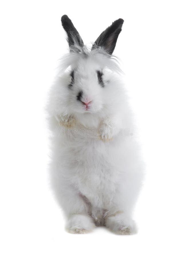 Coniglio bianco con le orecchie nere che stanno sulle sue gambe posteriori fotografia stock