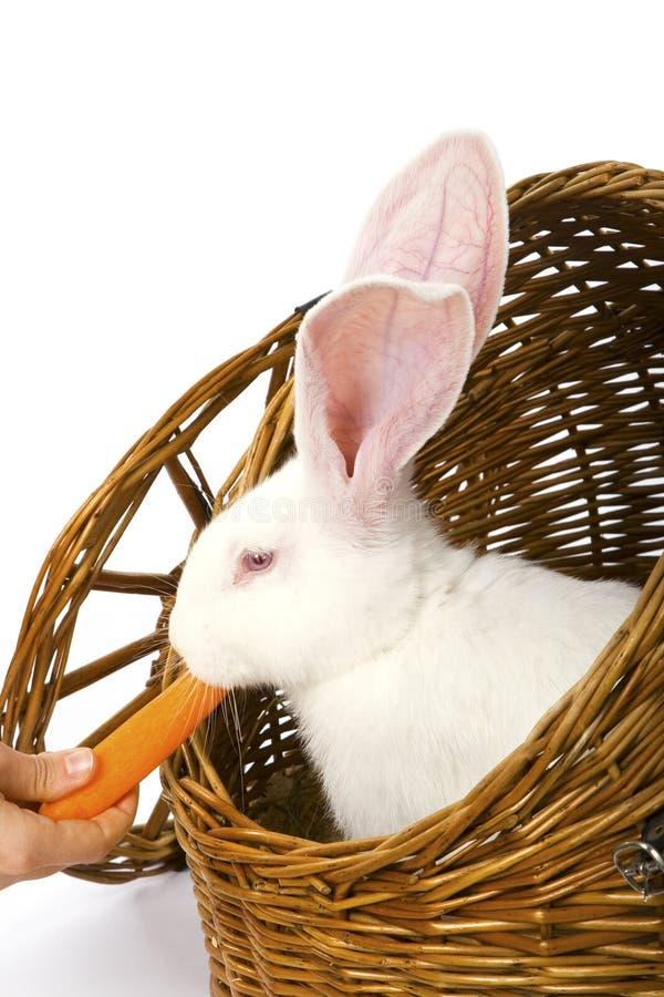 Coniglio bianco Red-eyed che mangia carota in un cestino fotografia stock