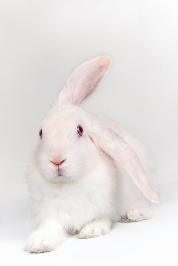 Coniglio bianco sopra priorità bassa chiara fotografia stock