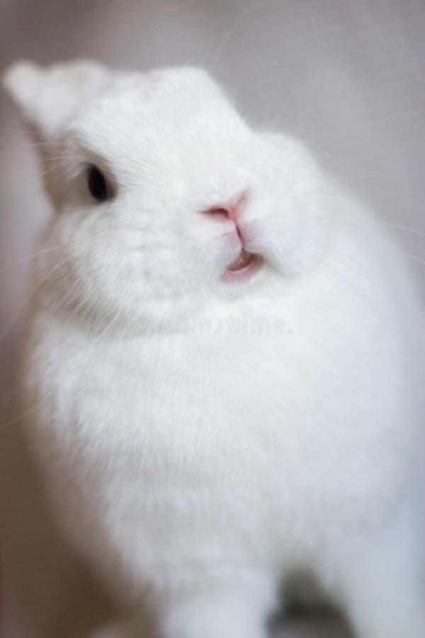 Coniglio bianco su un fondo leggero fotografie stock libere da diritti