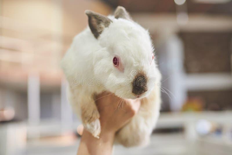 Coniglio bianco sveglio, con il becco e le orecchie neri, con l'occhi rossi fotografie stock