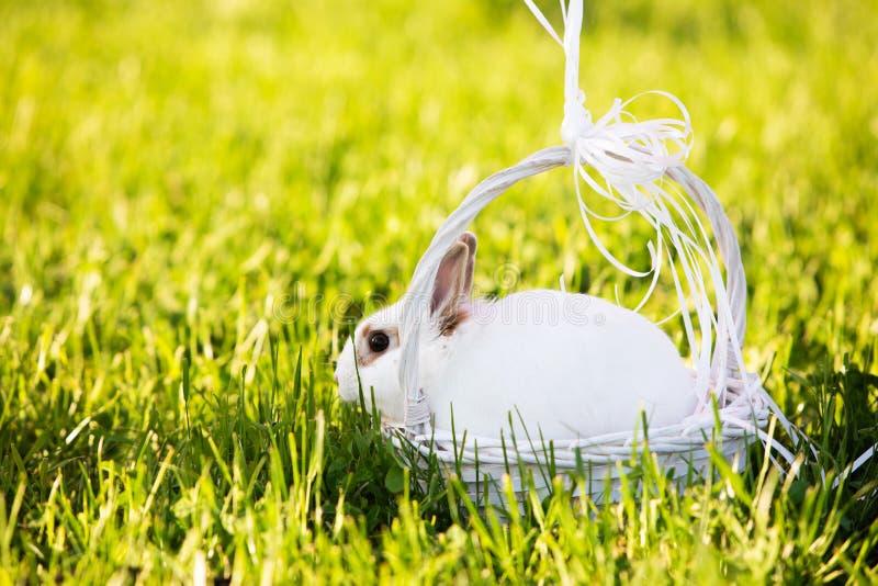 Coniglio che cammina sul prato verde immagini stock