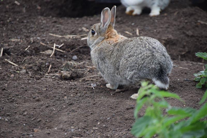 Coniglio che cammina sulla terra fotografia stock
