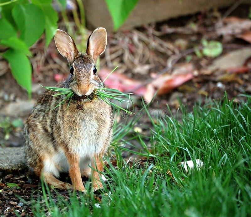 Coniglio che mangia erba fotografia stock libera da diritti