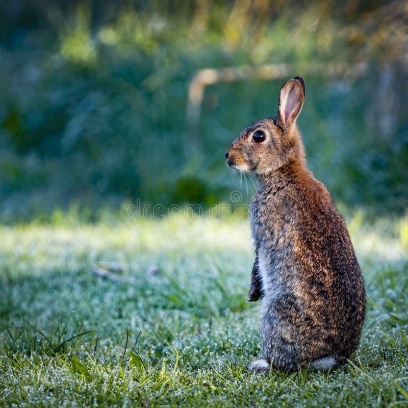 1 coniglio comune selvaggio (cuniculus di oryctolagus) che si siede su posteriore in un prato circondato da erba e da rugiada immagini stock libere da diritti