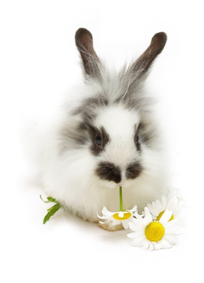 Coniglio con la camomilla fotografia stock libera da diritti