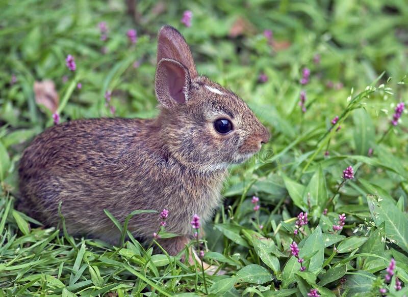 Coniglio del bambino del silvilago orientale fotografie stock libere da diritti