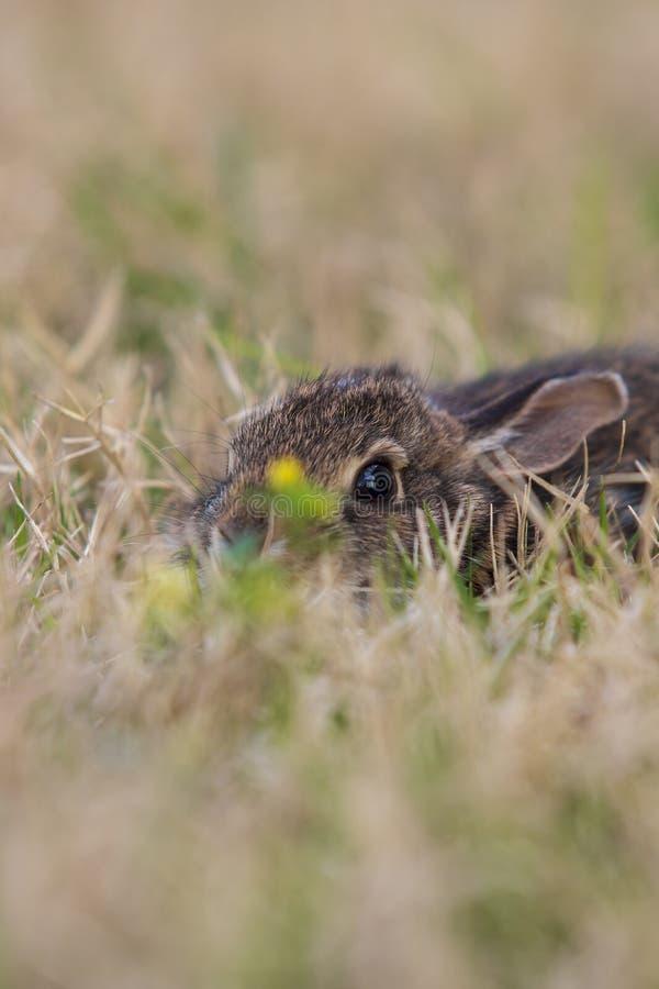 Coniglio del bambino nascosto in erba con dai wildflowers del fuoco fotografia stock libera da diritti