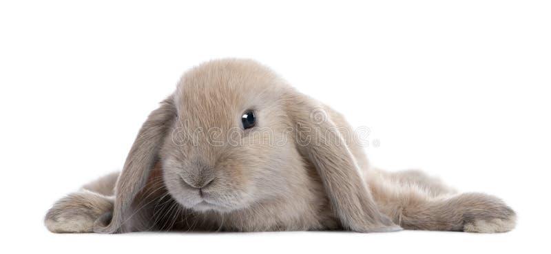 Coniglio del Brown che si trova giù immagine stock