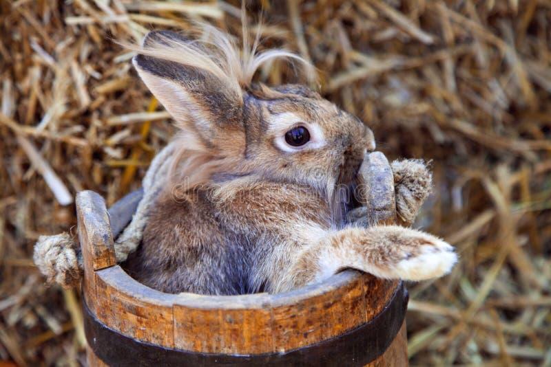 Coniglio di Brown che si siede in secchio di legno fotografia stock libera da diritti