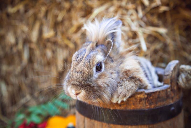 Coniglio di Brown in secchio di legno immagine stock libera da diritti
