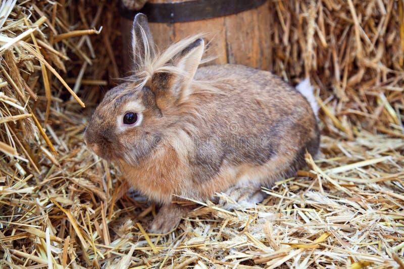Coniglio di Brown sul letto di paglia fotografia stock libera da diritti