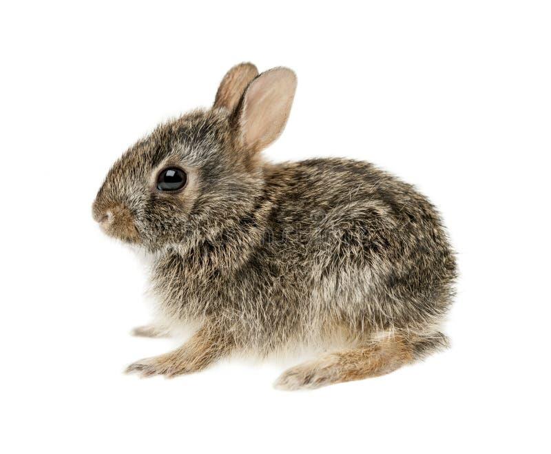 Coniglio di coniglietto del silvilago del bambino fotografia stock libera da diritti