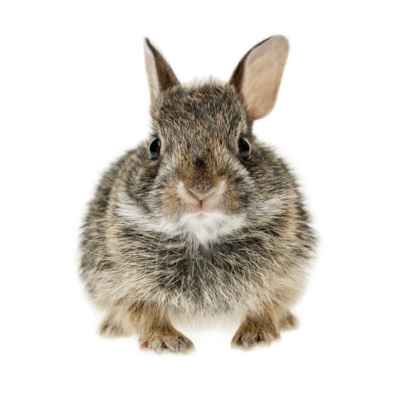Coniglio di coniglietto del silvilago del bambino fotografie stock libere da diritti
