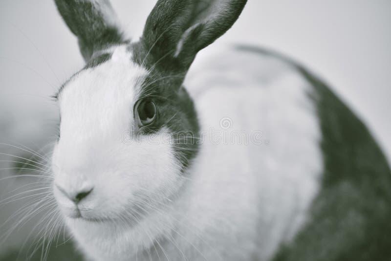 Coniglio di coniglietto grigio che sembra frontward allo spettatore, poco coniglietto che si siede sullo scrittorio bianco fotografia stock