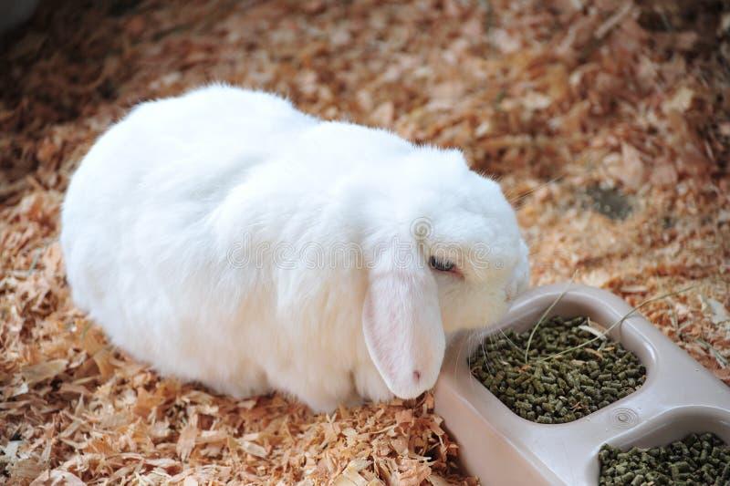 Coniglio di Lop fotografia stock