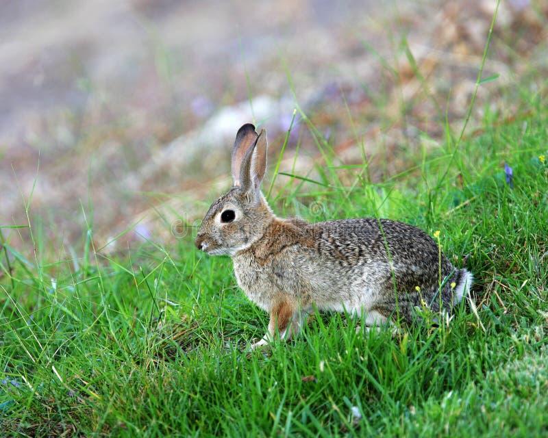Coniglio di silvilago immagine stock