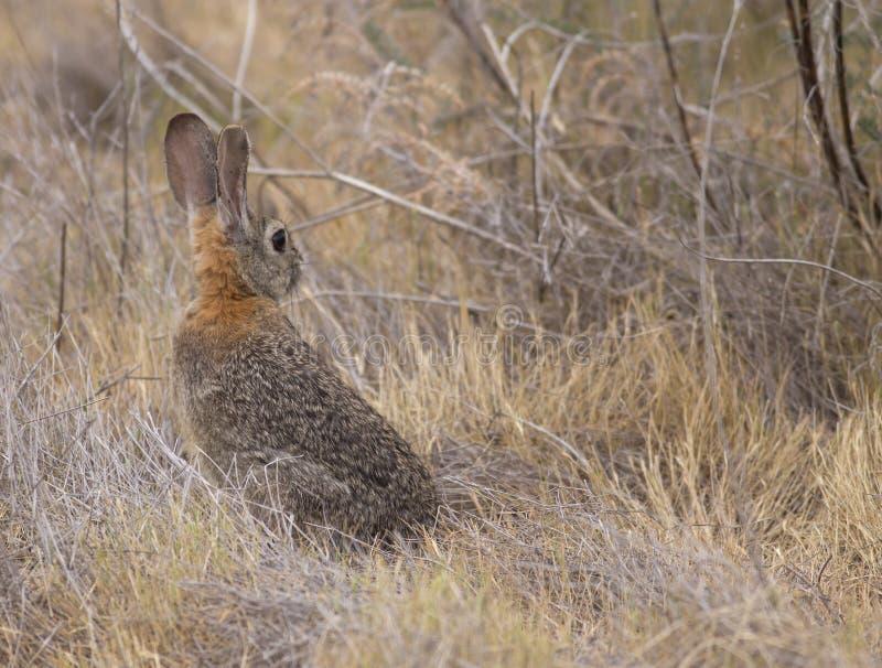 Coniglio di silvilago del deserto immagini stock libere da diritti