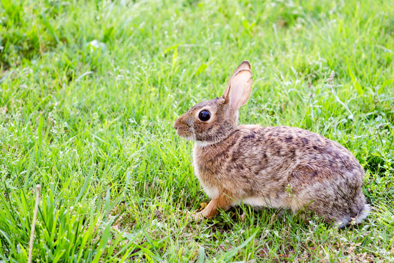 Coniglio di silvilago orientale selvaggio, sylvilagus floridanus, nel campo fotografia stock libera da diritti