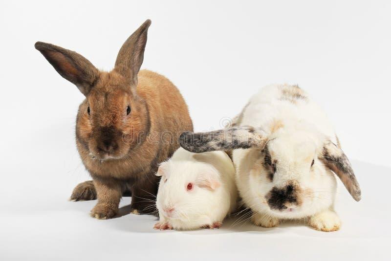 Coniglio e cavia di bianco immagine stock libera da diritti