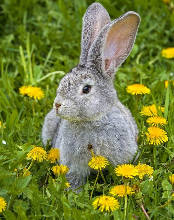 Coniglio in erba fotografia stock libera da diritti