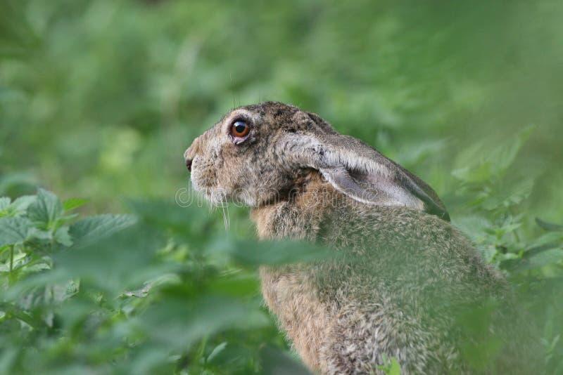 Coniglio europeo fotografia stock libera da diritti